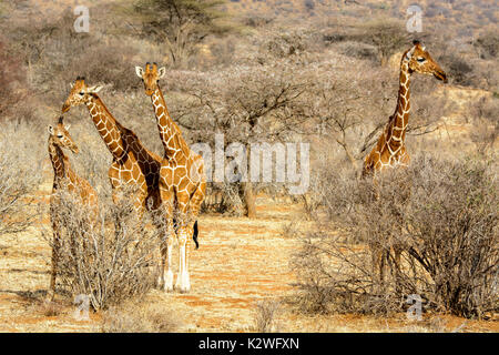 Four Reticulated Giraffes, Giraffa camelopardalis reticulata, adult and juvenile, looking at the camera, Buffalo Springs Game Reserve, Kenya, Africa - Stock Image