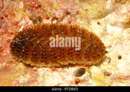 Segmented Scale Worm, Paralepidonotus indicus. Uepi, Solomon Islands - Stock Image
