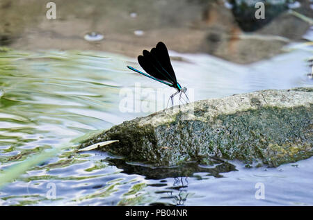Ebony jewelwing flexing its beautiful iridious metalic green-blue colors on rock by stream in Toronto Botanical Gardens, Ontario, Canada - Stock Image