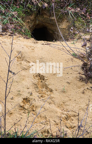 Prints or tracks in sand at the entrance hole to a fox (Vulpes Vulpes) den, UK - Stock Image