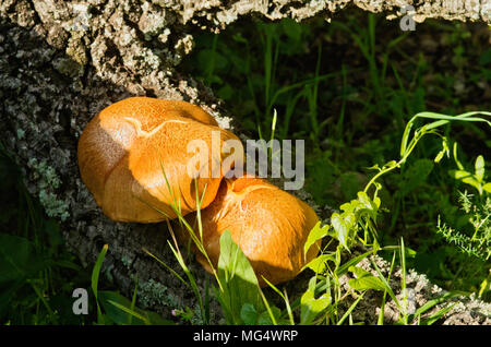 Two golden mushrooms (Gymnopilus suberis) growing on the crevices of a dead cork tree log. Arrabida mountains, Portugal. - Stock Image