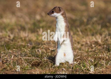Ermine, Mustela erminea, Hermelin (Mustela erminea) - Stock Image