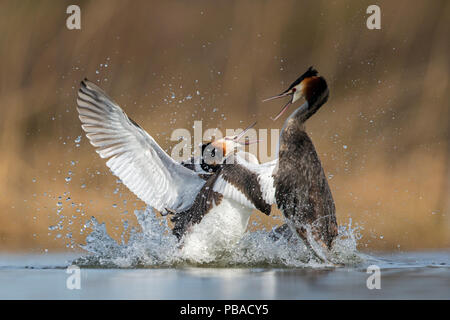 Great crested grebe (Podiceps cristatus) fighting in territorial dispute in the breeding season. The Netherlands. April. - Stock Image