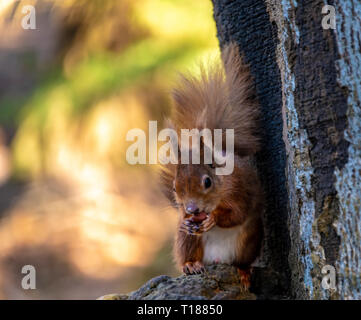 Poole, Dorset. 24th March 2019. Keen photographers try to capture pictures of young red squirrels on Brownsea Island in Poole. One of the few places native Red Squirrels can be found in the wild. Credit: Thomas Faull/Alamy Live News - Stock Image