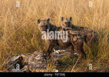 Spotted hyaena (Crocuta crocuta) at hippo carcass, Khwai conservancy, Okavango delta, Botswana, August 2018 - Stock Image