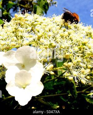 Bee on Hydrangea - Stock Image
