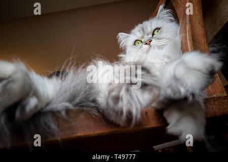 A long haired Persian cat looks to camera whilst relaxing - Stock Image