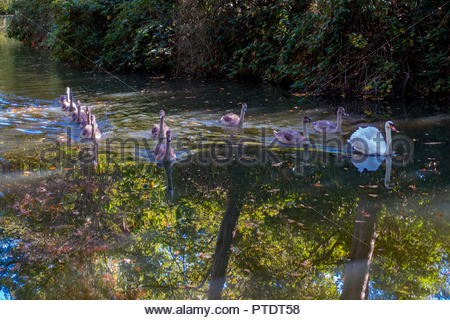Fleet, Hampshire, UK. 9th October 2018. Autumn leaves reflected in the water as a swan accompanied by ten cygnets swims  along the Basingstoke Canal. Credit: Images by Russell/Alamy Live News - Stock Image