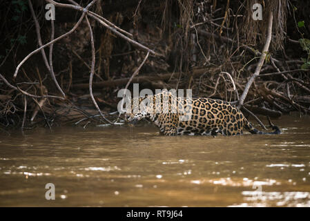 A Jaguar wades in a river in North Pantanal in search of prey - Stock Image