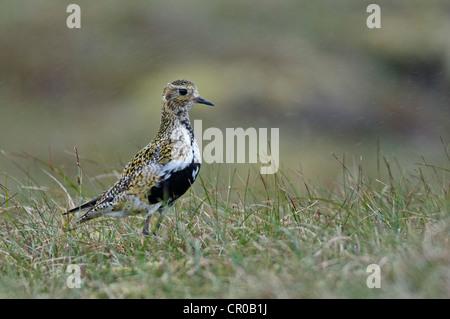 Golden plover (Pluvialis apricaria) adult in breeding plumage on moorland in rain shower. Shetland Isles. June. - Stock Image