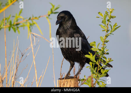 Carrion Crow (Corvus corone corone) perched on a fencepost - Stock Image