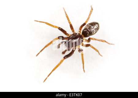 Male Glossy ant-spider (Micaria pulicaria), part of the family Gnaphosidae - Stealthy ground spiders. Isolated on - Stock Image