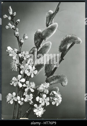 A greeting postcard printed in Germany, shows the branches of pussy-willow and the branches of a blossoming apple - Stock Image