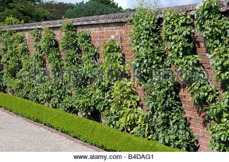 Cordon trained fruit trees against a sheltered wall. - Stock Image