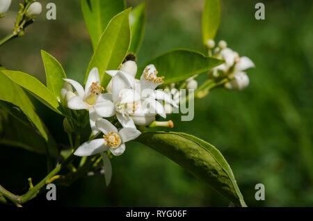 Orange tree blossom, Closeup of orange blossom in spring, Andalusia, Spain. - Stock Image