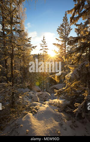 The low winter sun shines through tree trunks in a wintry forest. - Stock Image