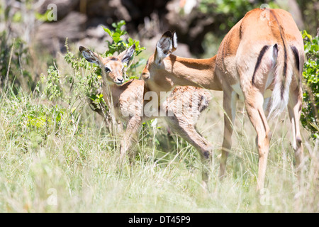 The impala Aepyceros melampus Mother and new born calf - Stock Image