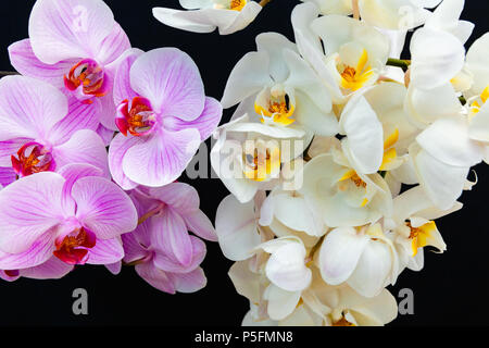 White and pink Orchids on a black background with space for text. - Stock Image