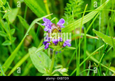 Selfheal Prunella vulgaris, Cressbrook Dale NNR Peak District National Park June 2014 - Stock Image