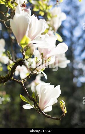 A magnolia tree in springtime in Hendricks park in Eugene, Oregon, USA. - Stock Image