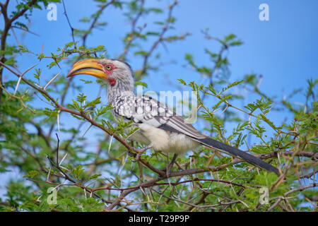 Southern yellow billed hornbill Tockus leucomelas adult perched in acacia tree - Stock Image