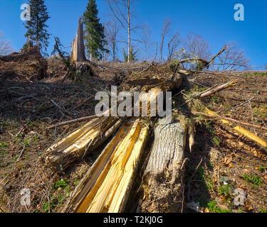 DE - BAVARIA: Storm devastation of 11th March 2019 on Buchberg near Bad Tölz - Stock Image