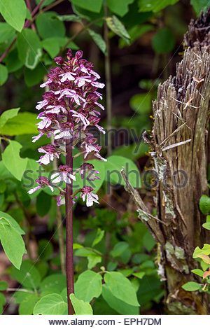 Orchis purpurea, the lady orchid - Stock Image