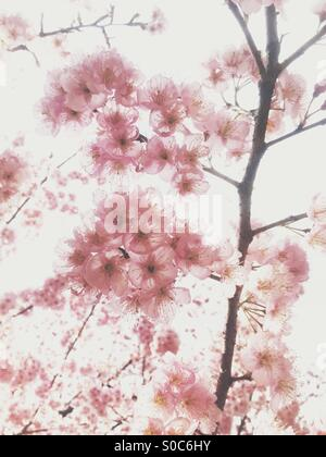 Light pink plum blossoms with translucent petals on blown out white sky background in Spring - Stock Image
