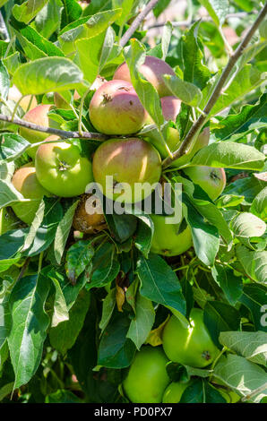 Apples ripening on an apple tree although one apple is rotting on the tree. - Stock Image