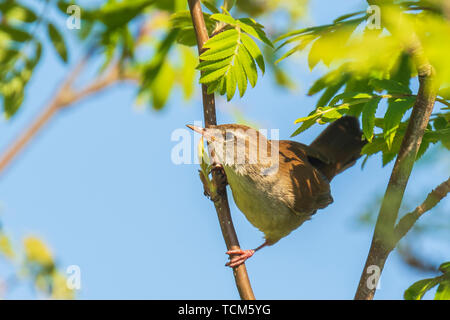 Closeup of a Cetti's warbler, cettia cetti, bird singing and perched in a green forest during Springtime season. - Stock Image