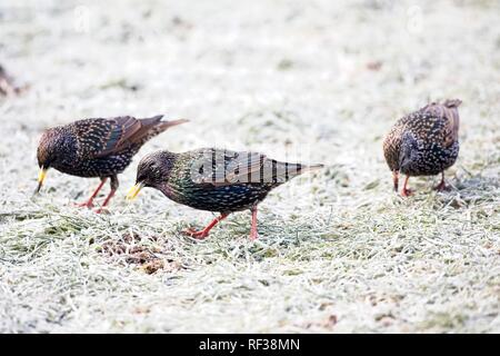 Hailsham, UK. 24th Jan 2019.UK weather.Starlings (Sturnus vulgaris) scavenge for food this morning after a cold night in Sussex. Wildlife will struggle to find food as the cold weather worsens this week. Hailsham, East Sussex, UK. Credit: Ed Brown/Alamy Live News - Stock Image