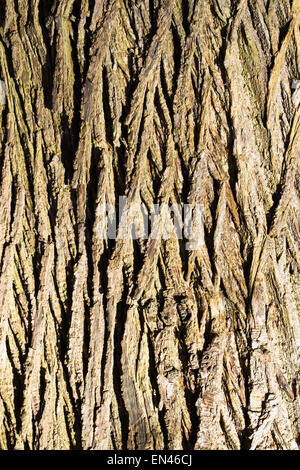 Close up of the bark of an old oak tree with sunlight on it - Stock Image