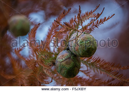 Taxodium distichum known as bald cypress, baldcypress, bald-cypress, southern-cypress and tidewater red-cypress - Stock Image