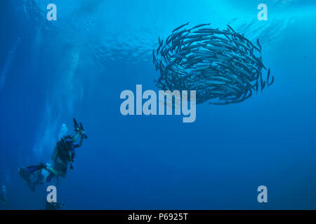 Underwater photographer shoots swiling school of baracuda in clear blue waters of the Red Sea in Northern Egypt off the coast of Hurghada. - Stock Image