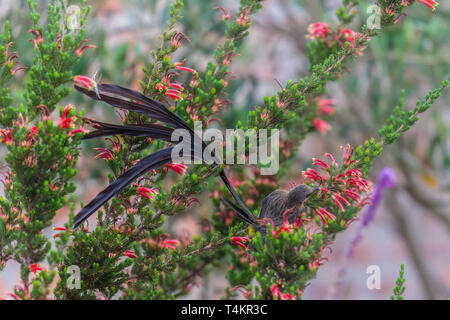 Male Cape sugarbird, Promerops cafer, sitting on a flower with back towards the camera sucking nectar, Western cape, South Africa - Stock Image