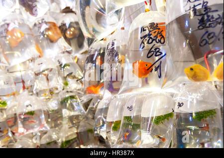 Tropical fish hanging in plastic bags at the Tung Choi Street goldfish market, Hong Kong - Stock Image