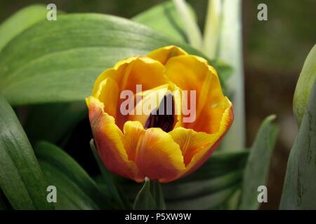 Orange tulip (Tulipa) - Stock Image
