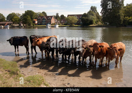 cattle cooling off in River Thames, Cookham, near High Wycombe, Buckinghamshire, England - Stock Image
