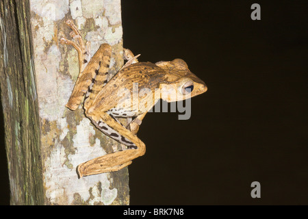 File-eared Tree Frog Polypedates otilophus - Stock Image