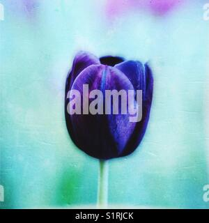 Abstract tulip - Stock Image