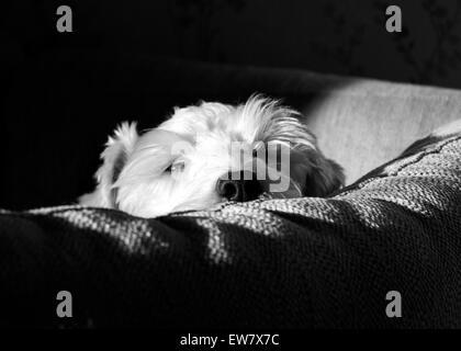 Dog resting head on cushion - Stock Image