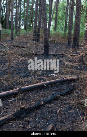 Damage to trees caused by fire. Hertford, UK. - Stock Image