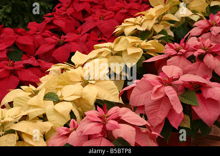 USA These moist poinsettias were captured under ideal lighting conditions They are freshly watered - Stock Image