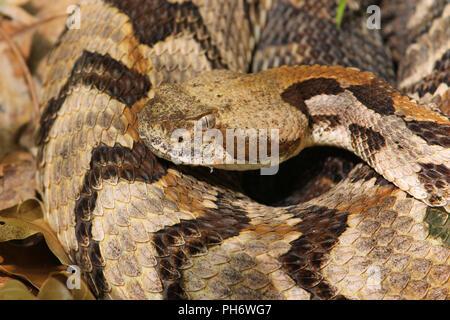 Close-up of a canebrake rattlesnake. - Stock Image