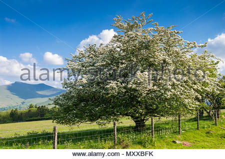 Hawthorn tree, a deciduous tree with spring blossom Mynydd Illtyd, Powys, Wales, UK. With Pen-y-fan in the Brecon Beacons National Park landscape. - Stock Image