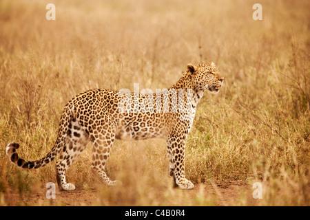 Tanzania, Serengeti. A leopard boldly stands in the long grasses near Seronera. - Stock Image