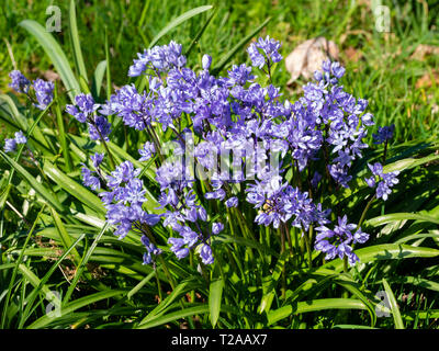 Massed spring flowers of the bulbous Turkish squill, Scilla bithynica, naturalised in grass - Stock Image