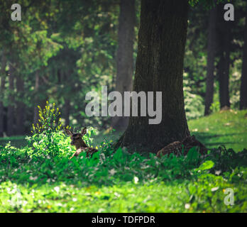 White-tailed deer baby in the summer forest in austria hohe wand - Stock Image