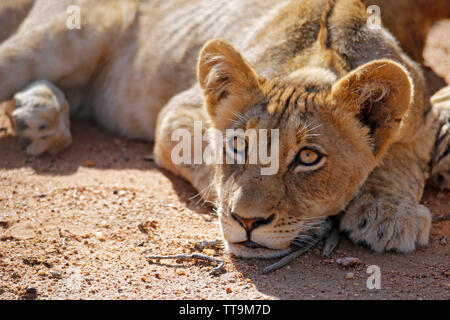 Lion Cub Lying on the Ground, Looking into the Camera. Balule Nature Reserve, Kruger Park, South Africa - Stock Image