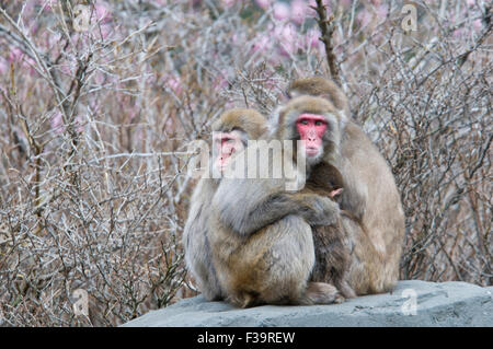 Family of Snow Monkeys, Japanese Macaques, Macaca fuscata, sheltering a baby, Central Park Zoo, New York, NY, USA - Stock Image